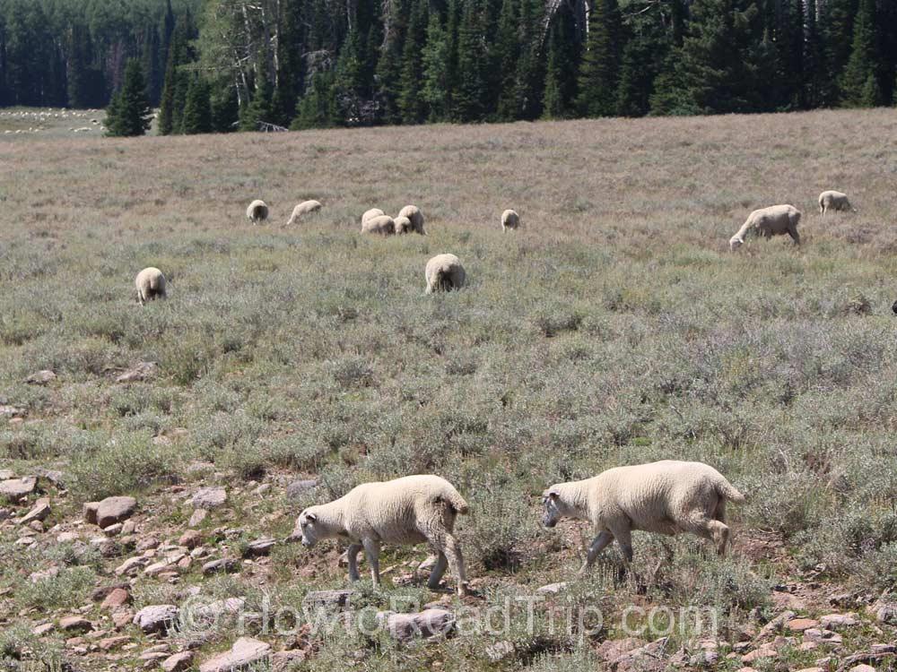 オープンレンジにいた羊
